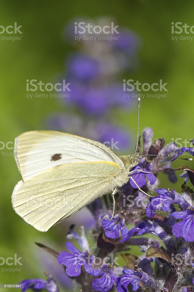 Cabbage butterfly closeup on a blue flower. vertical stock photo