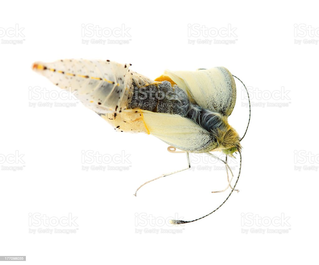 Cabbage butterfly coming out of cocoon stock photo