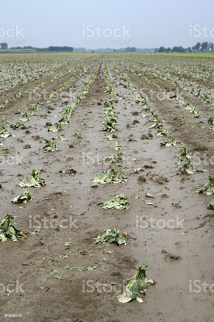 Cabbage Crop Damage stock photo