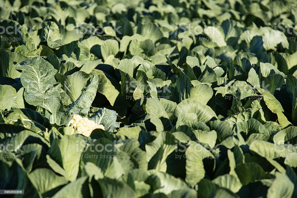 Cabbage crop stock photo