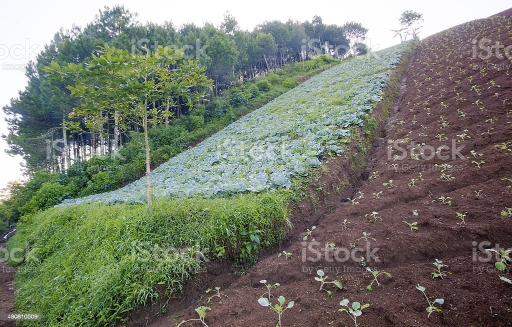 Cabbage farm on top of the hill royalty-free stock photo