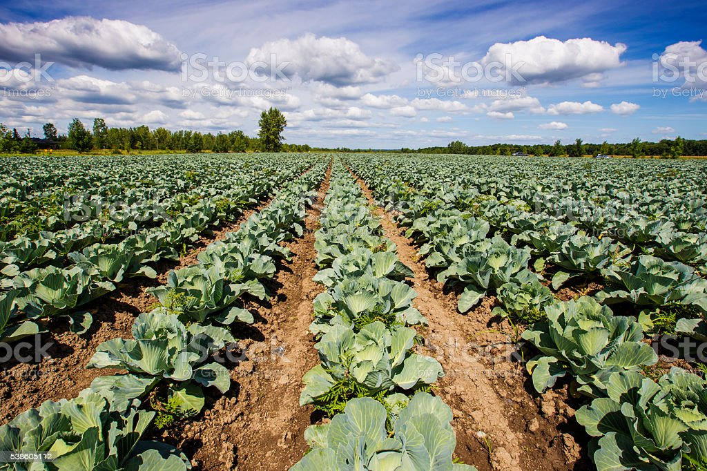Cabbage field in autumn stock photo