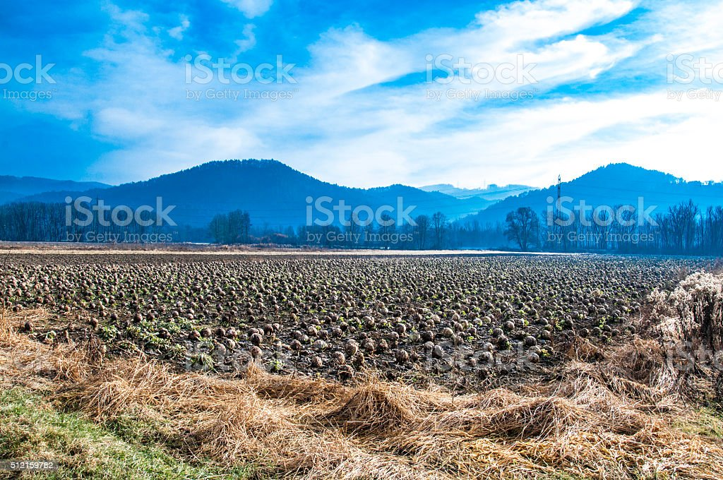 Cabbage field in wintertime stock photo