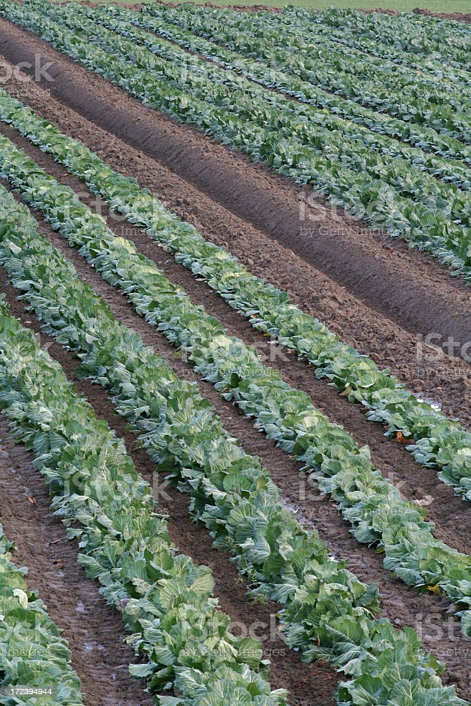 Cabbage Fields royalty-free stock photo