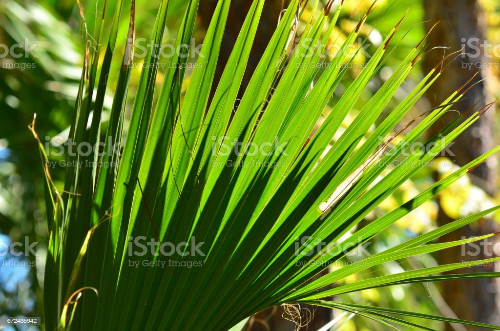 Cabbage palm frond with forked shadows on each finger stock photo