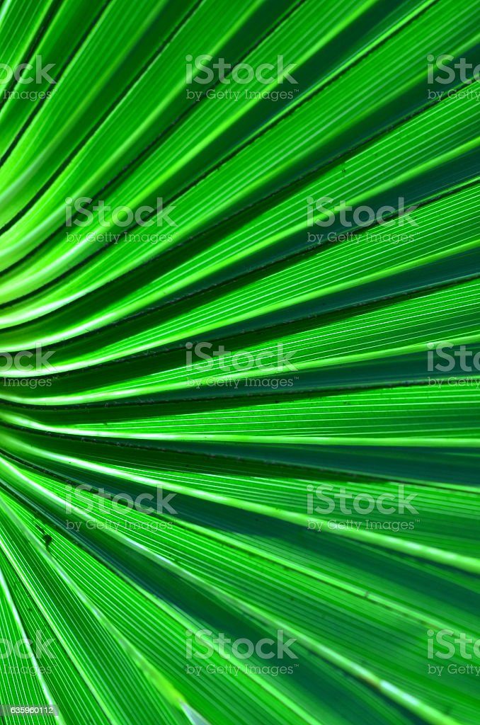 Cabbage Palm leaf, curving and coming together at left edge stock photo