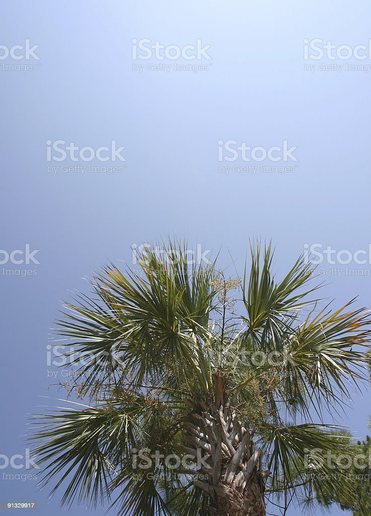 Cabbage palm tree with blue sky stock photo