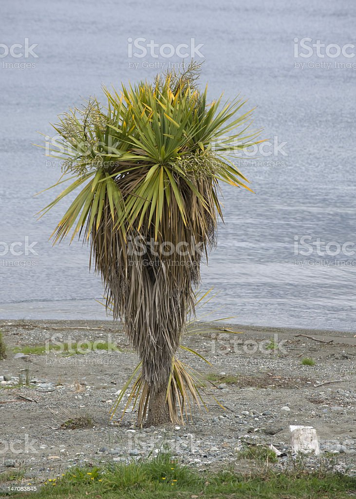 Cabbage Palm with white stone, Lake Te Anau, New Zealand stock photo