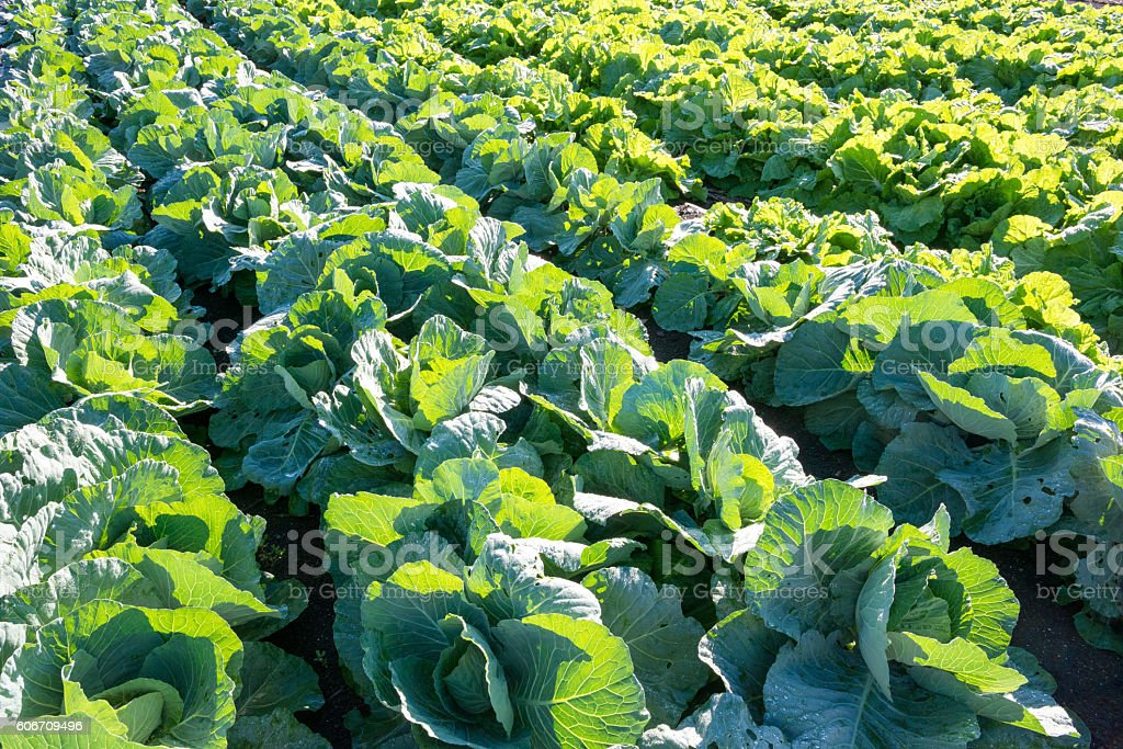 Cabbage patch stock photo