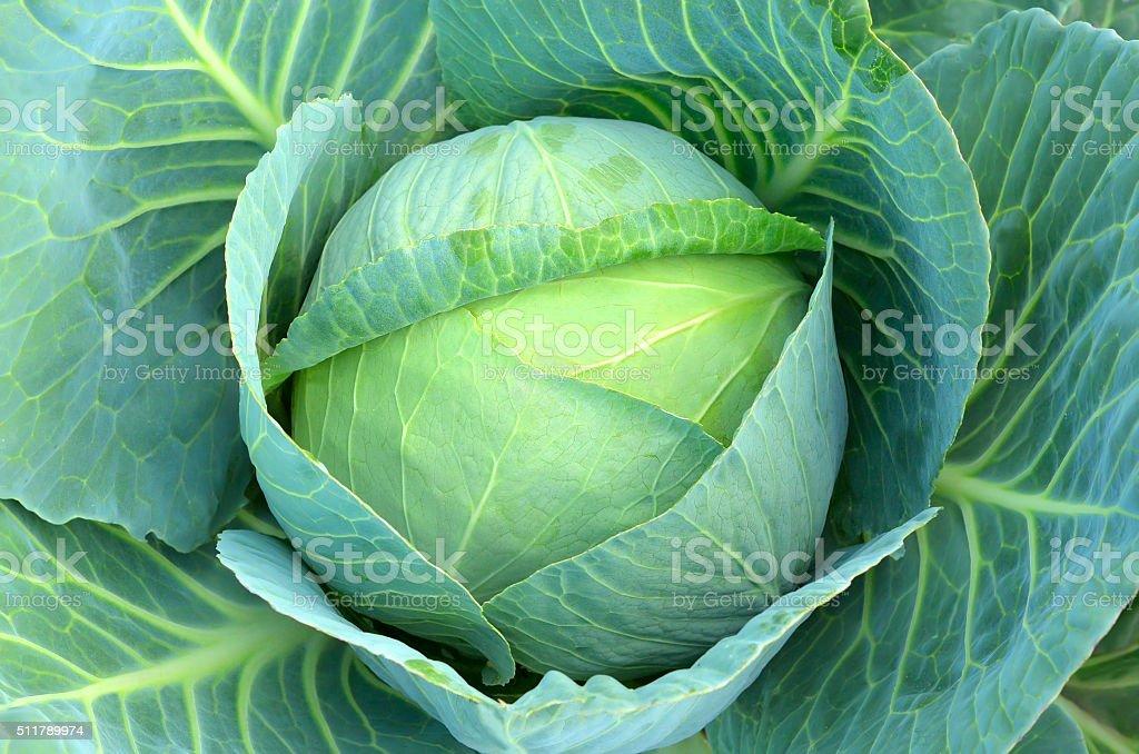 Cabbage (Brassica oleracea) stock photo