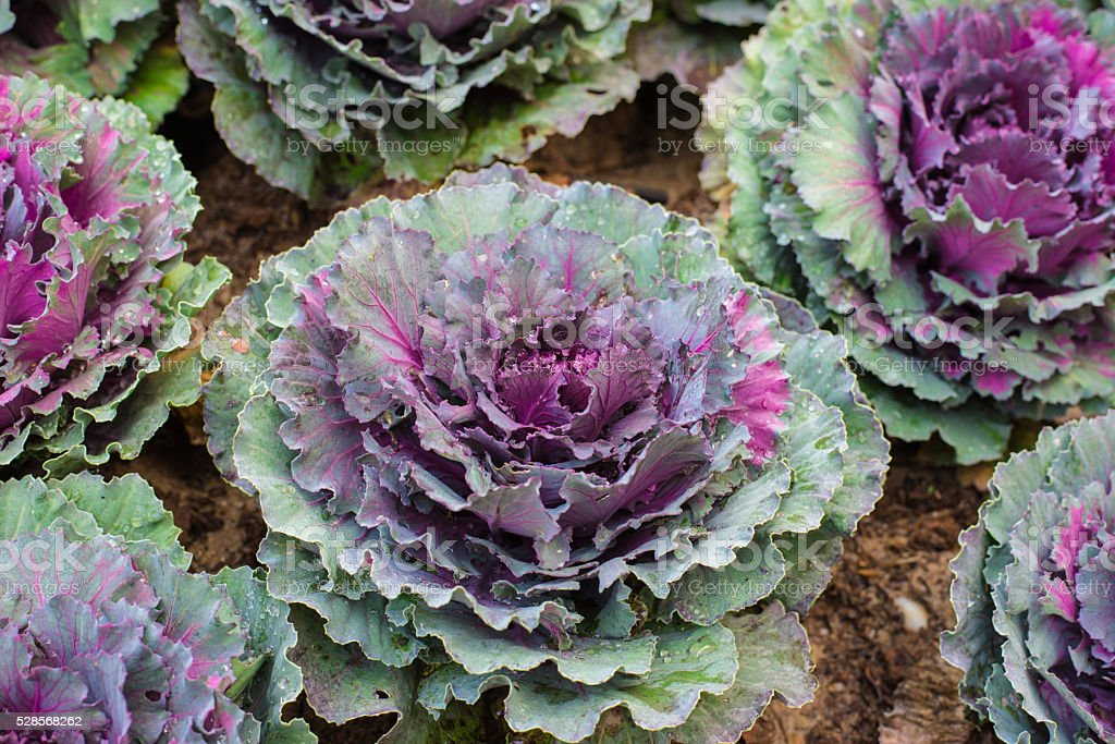 Cabbage (brassica oleracea) plant stock photo