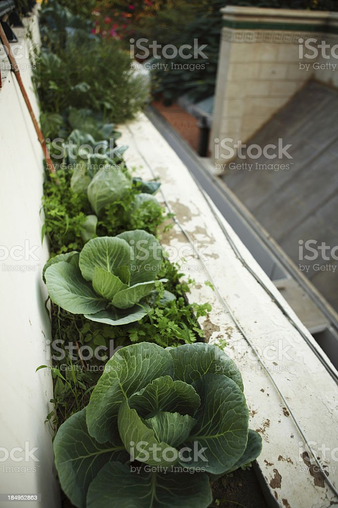 Cabbage Planted in outer Balcony Kitchen Urban Garden royalty-free stock photo