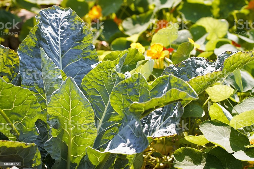 Cabbage plants with nasturtiums companion vegetables in garden stock photo
