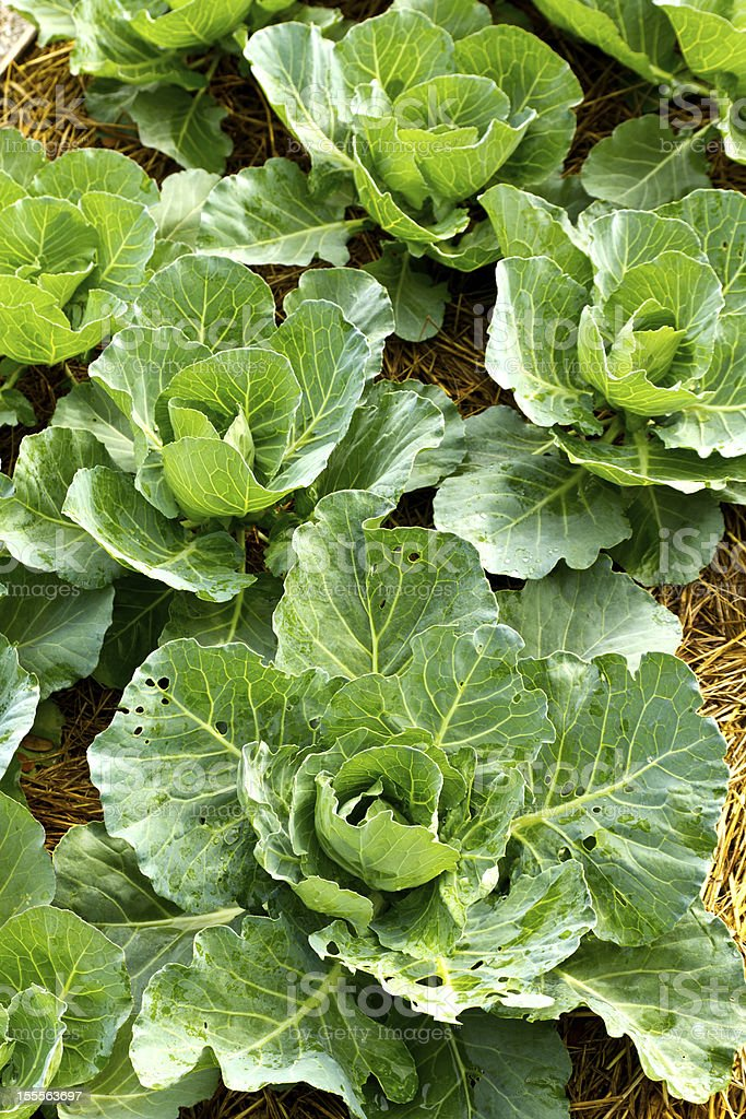 Cabbage seedlings royalty-free stock photo