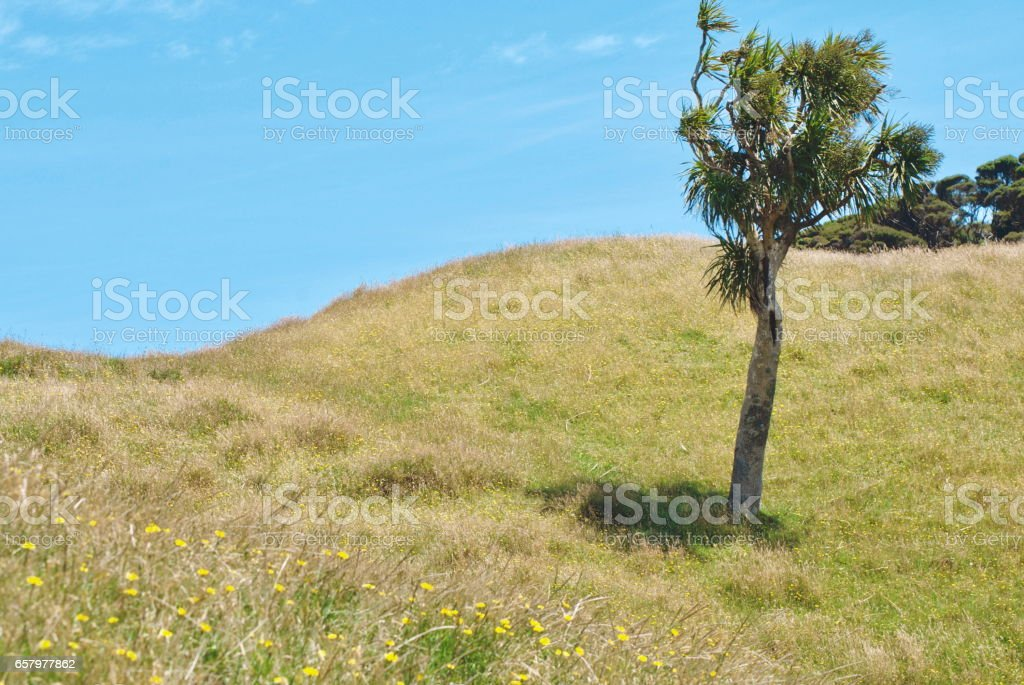 Cabbage Tree (Cordyline Australis), New Zealand stock photo