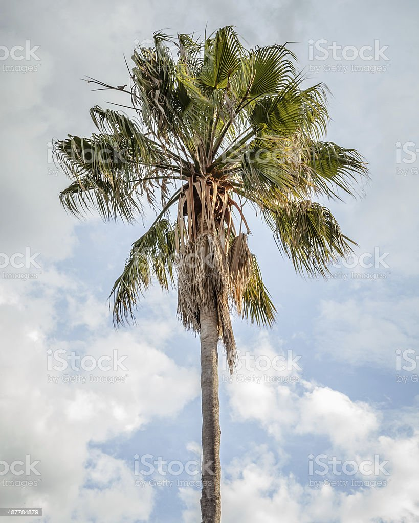 Cabbage Tree Palm Against Blue Sky with Clouds stock photo