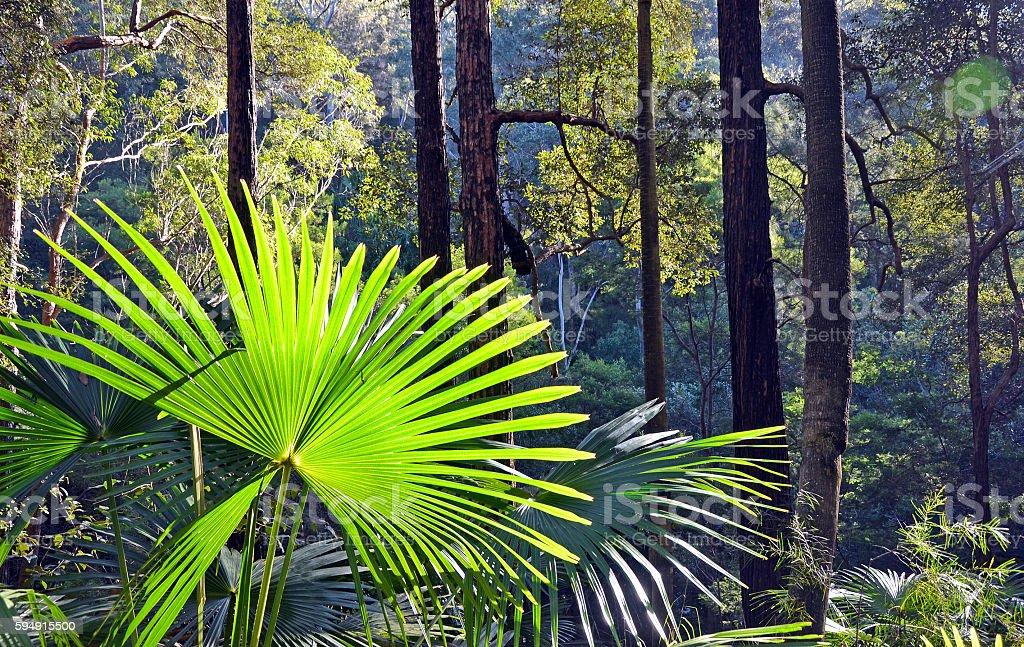 Cabbage Tree Palm in Rainforest understorey stock photo