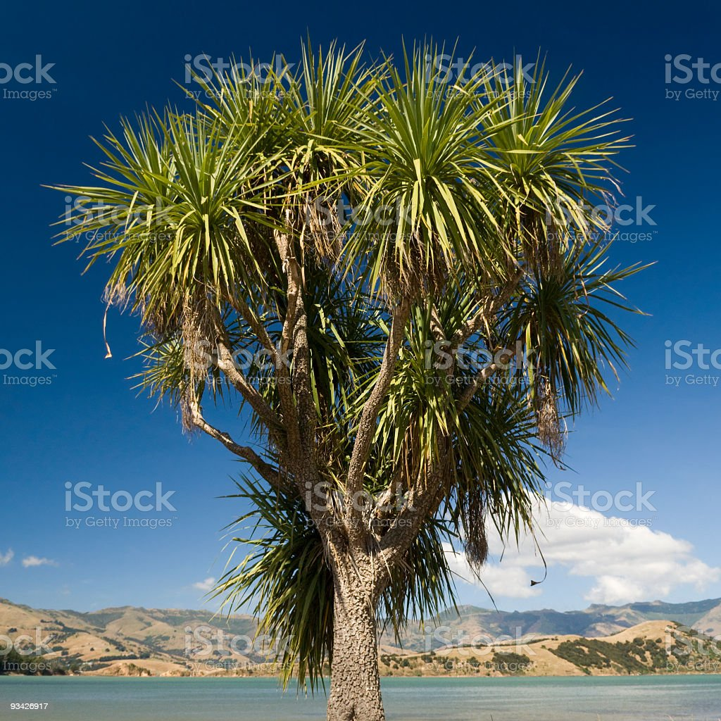 Cabbage Tree stock photo