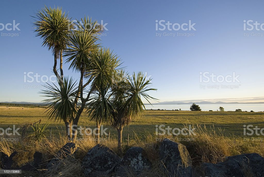Cabbage Trees at Lake Taupo stock photo