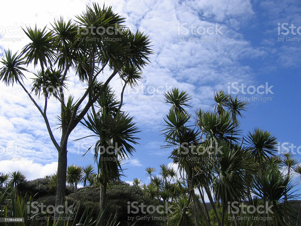 cabbage trees stock photo