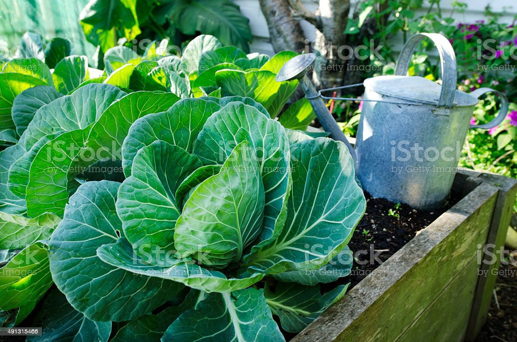 Cabbage vegetable stock photo