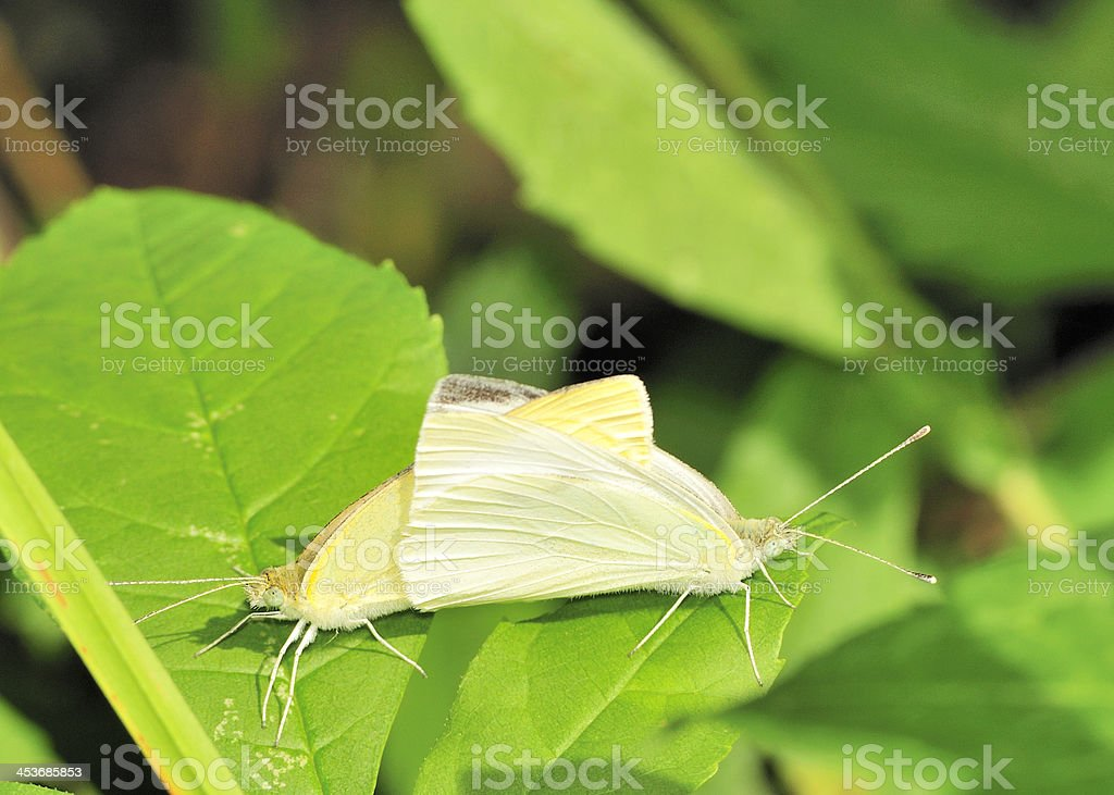 Cabbage White Butterflies royalty-free stock photo