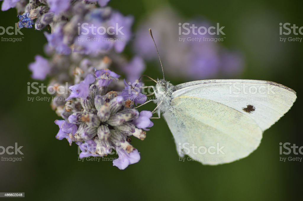Cabbage white butterfly on Lavender royalty-free stock photo