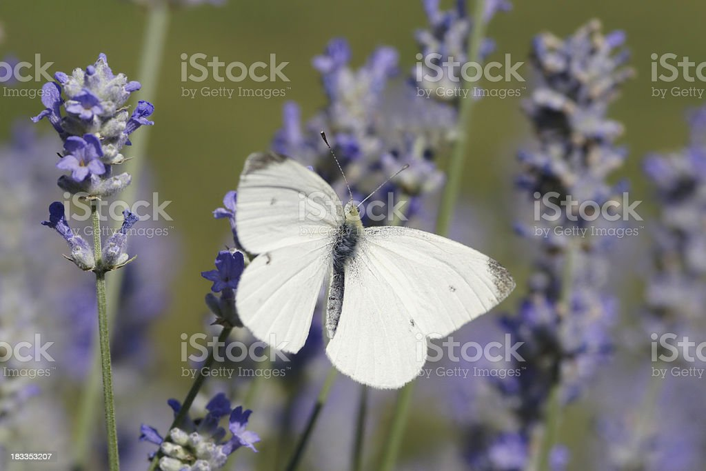Cabbage white butterfly on lavenders stock photo