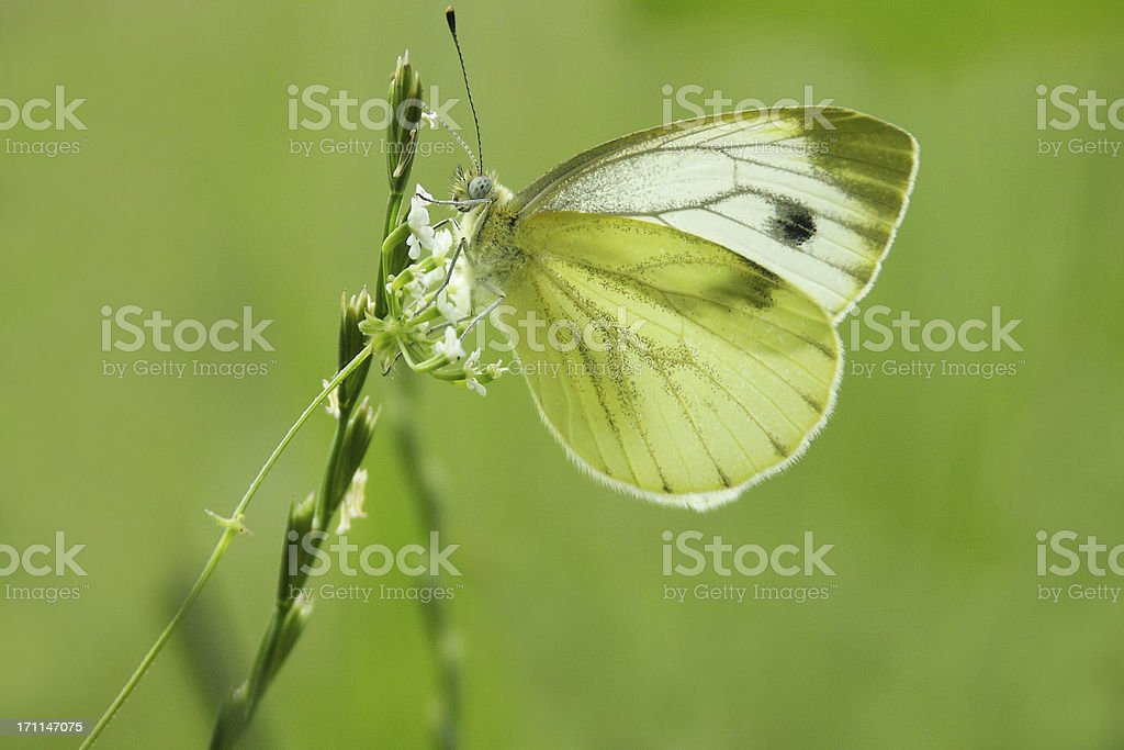 Cabbage white butterfly royalty-free stock photo