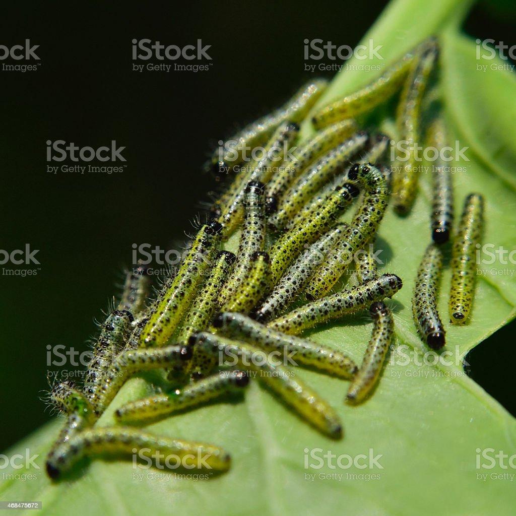 Cabbage White Caterpillars stock photo