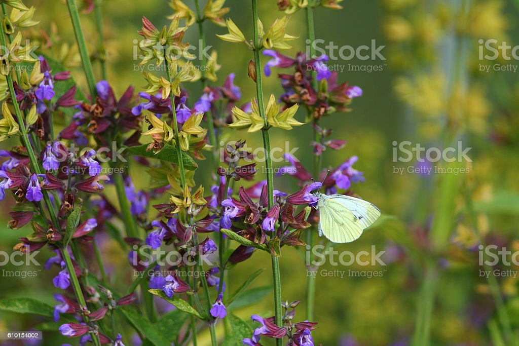 Cabbage white on the sage flower stock photo
