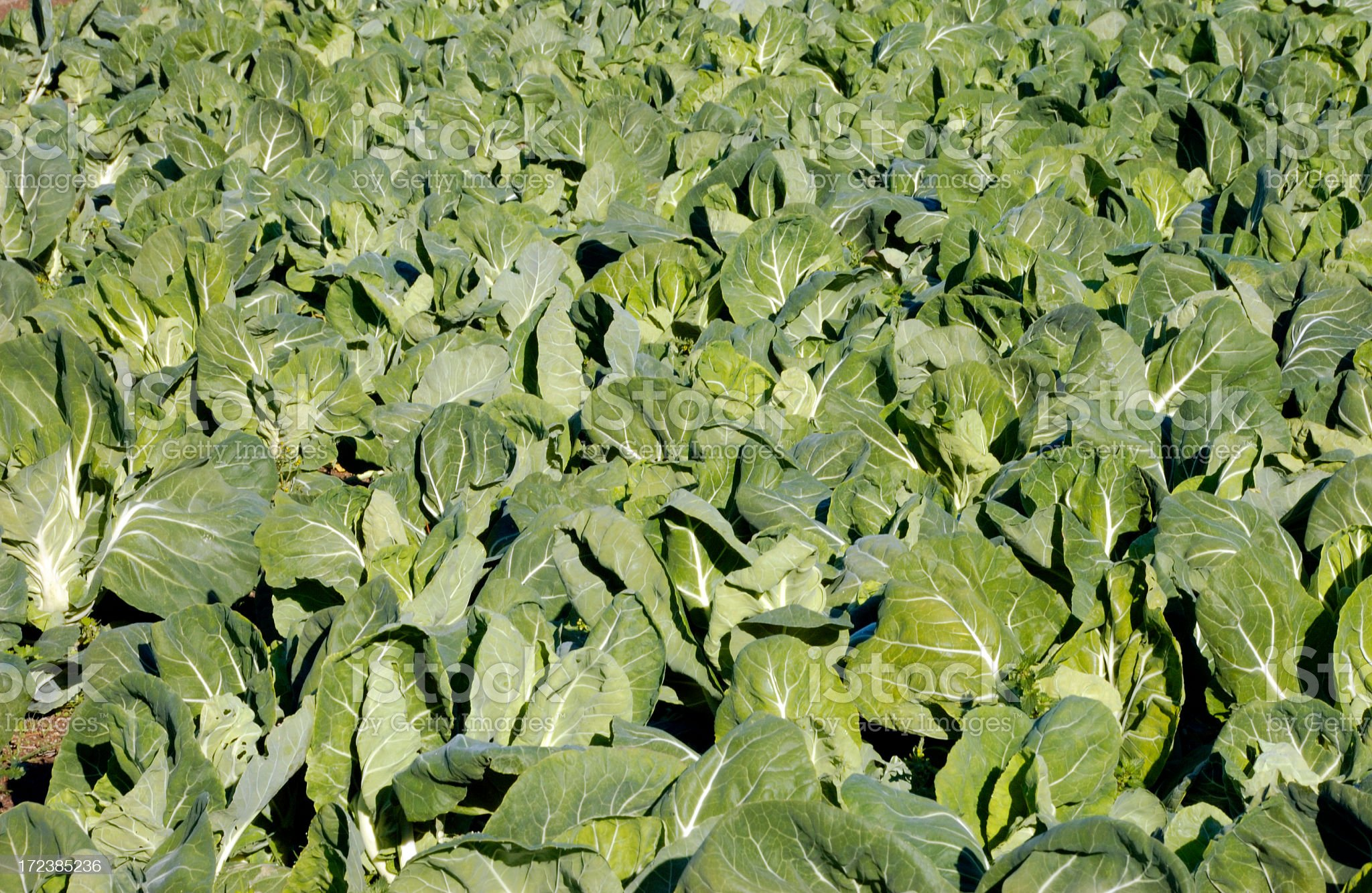 Cabbages culture royalty-free stock photo