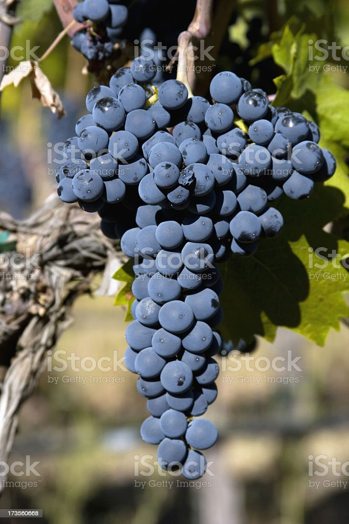 Cabernet Grapes Hanging in the sun royalty-free stock photo