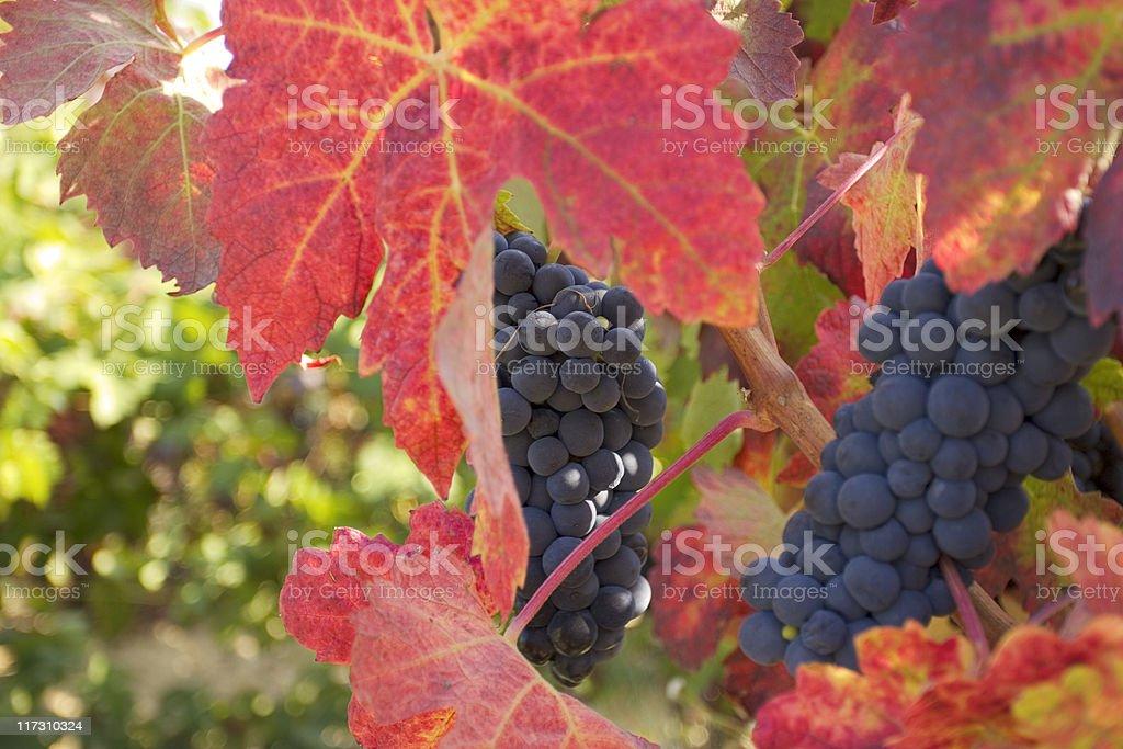 Cabernet grapes on vine stock photo