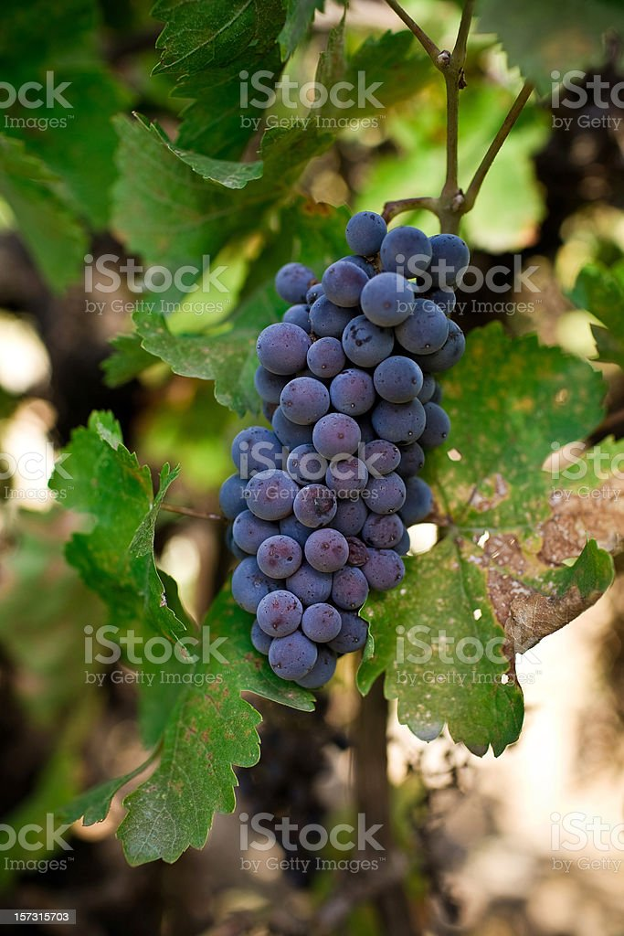 cabernet grapes stock photo