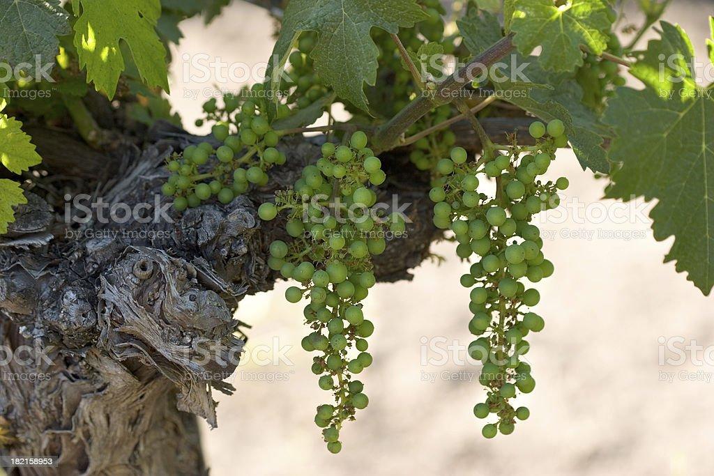 Cabernet Grapes stock photo