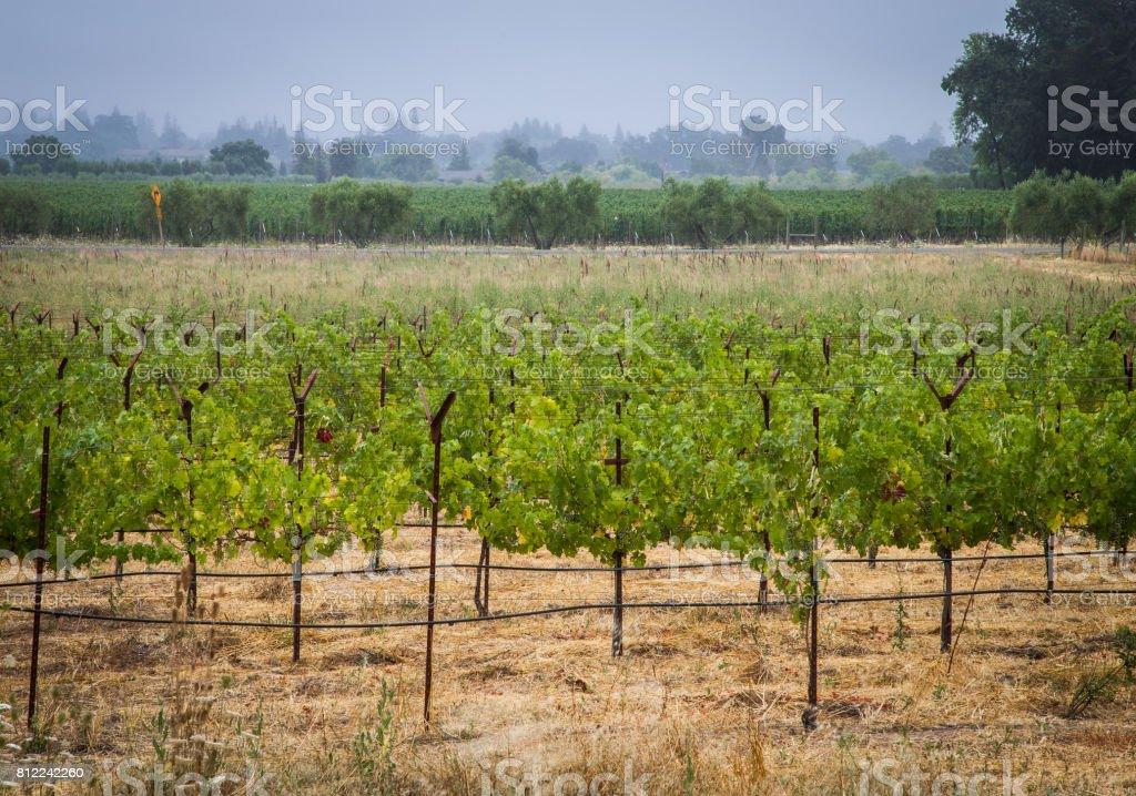 Cabernet on the Vine stock photo