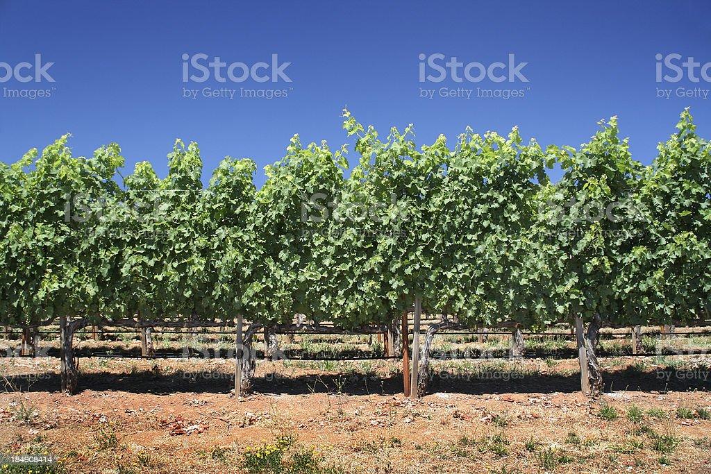 Cabernet Sauvignon royalty-free stock photo