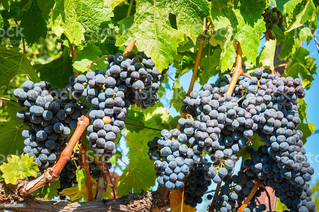 Cabernet Sauvignon Red Wine Grapes on Vine stock photo