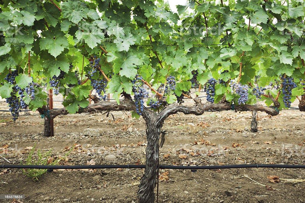 Cabernet Sauvignon Wine Grape in Napa Valley Vineyard stock photo