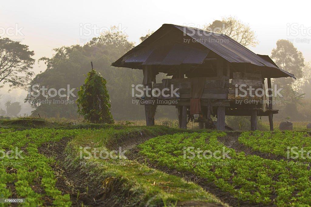 Cabin and peanut farm on morning stock photo