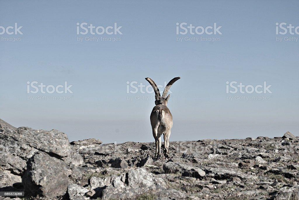 Cabra montesa stock photo