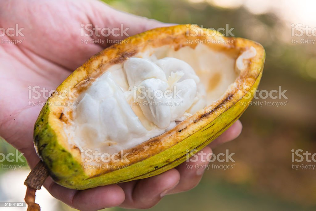 Cacao fruit in hand stock photo
