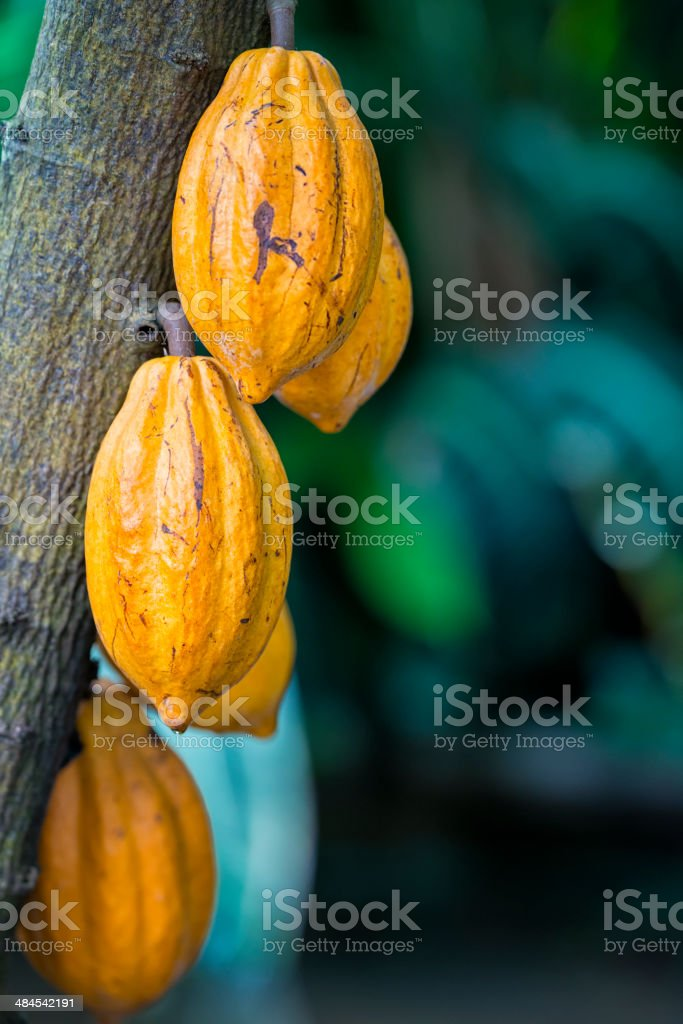 Cacao stock photo