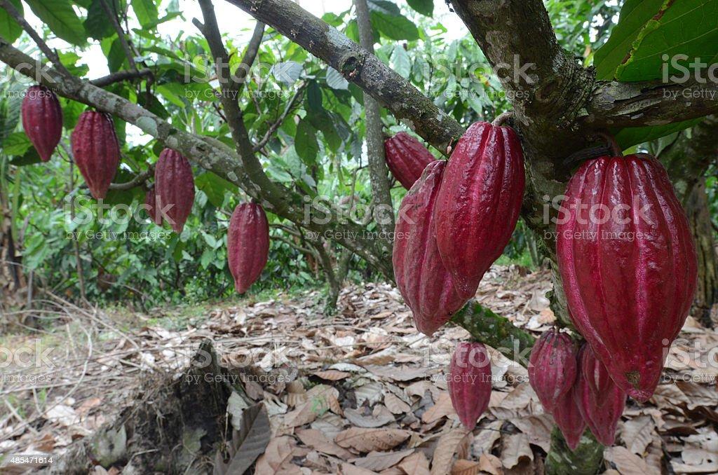 Cacao plantation Indonesia stock photo
