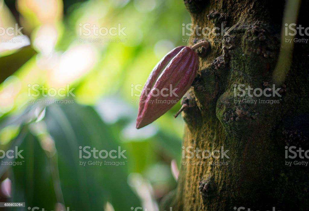Cacao pod stock photo