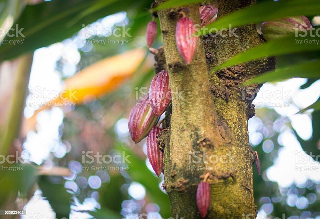 Cacao tree stock photo