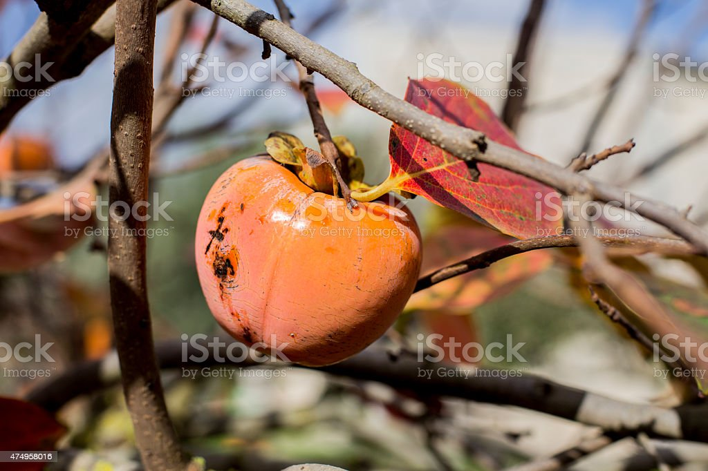 cachi persimmon stock photo
