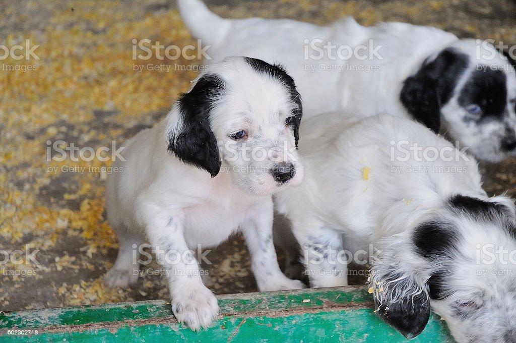 cachorros de Setters royalty-free stock photo