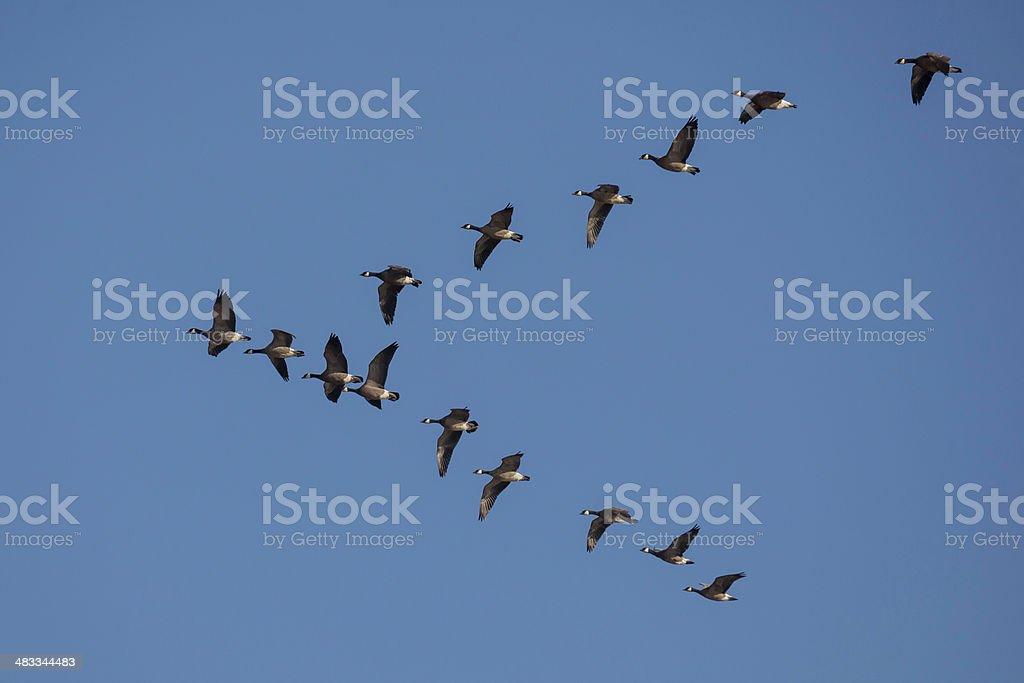 Cackling Geese - Branta hutchinsii royalty-free stock photo
